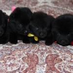 pups males 20 d.1