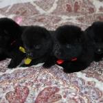 pups males 20 d.2